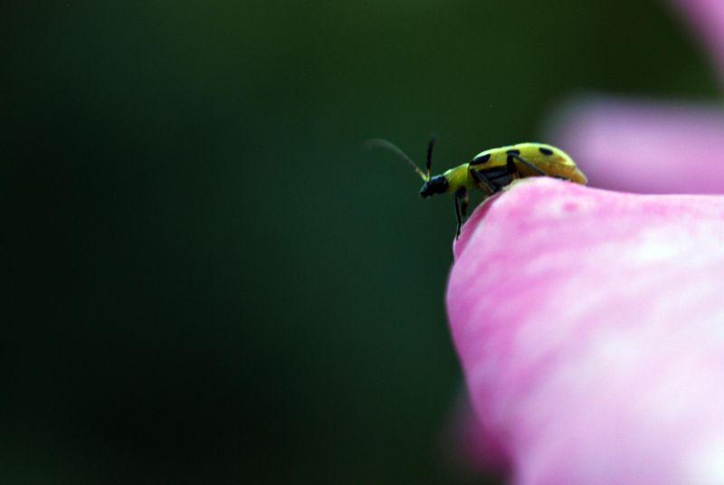 Pink rose ladybug