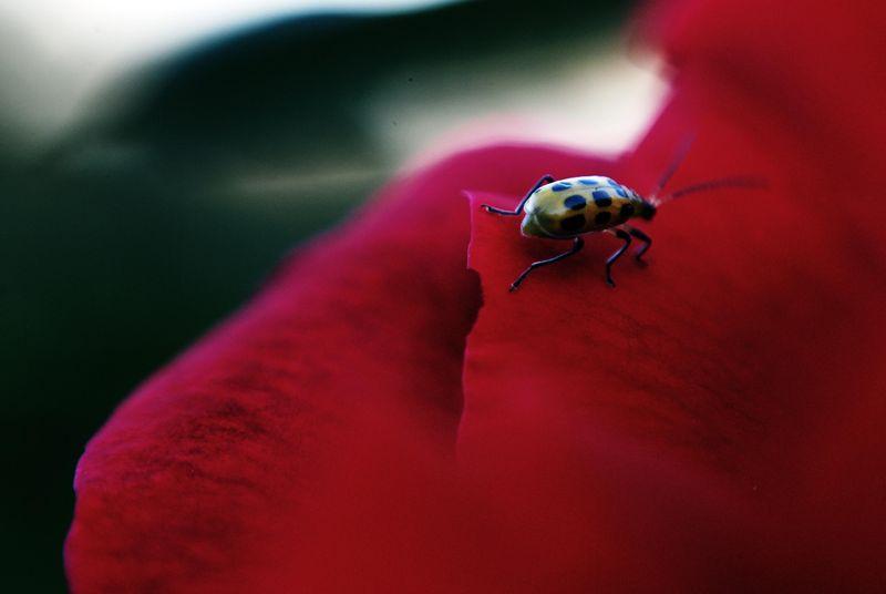 Red rose ladybug