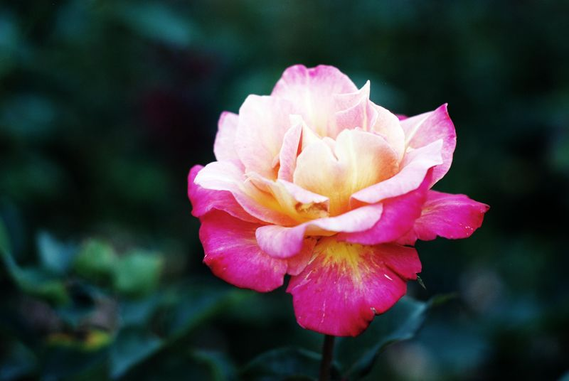 Pink yelllow rose